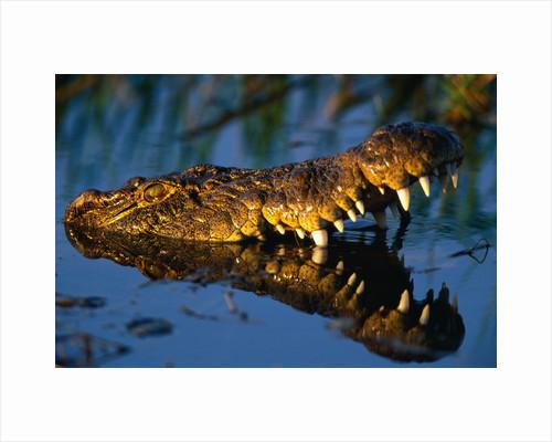 Nile Crocodile Swimming in Water by Corbis