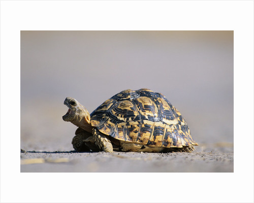 Leopard Tortoise with Open Mouth by Corbis