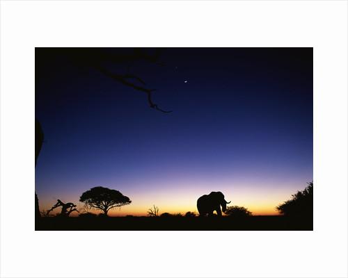 Elephant Walking Along Savuti Marsh at Dawn by Corbis