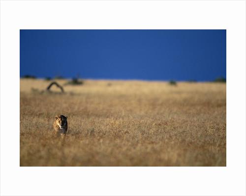 Lone Lioness in Savanna by Corbis