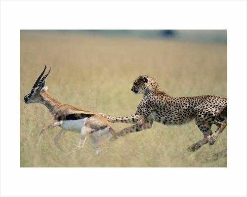 Cheetah Chasing Thomson's Gazelle by Corbis
