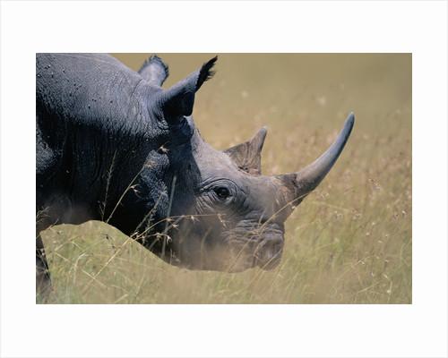 Black Rhinoceros by Corbis