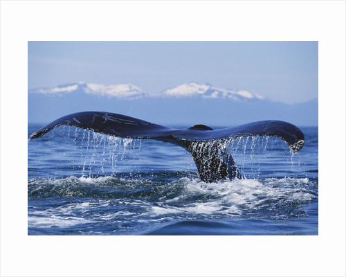 Tail of Surfacing Humpback Whale by Corbis