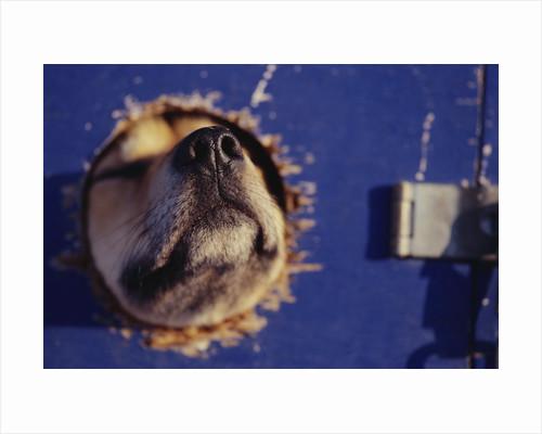 Sled Dog Sticking Head Through Hole by Corbis