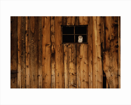 Barn Owl in Barn Window by Corbis