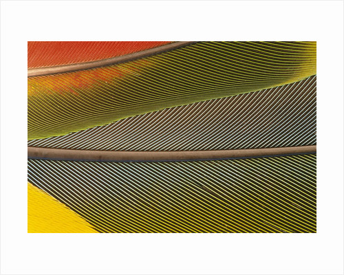 Detail of Scarlet Macaw Feathers by Corbis