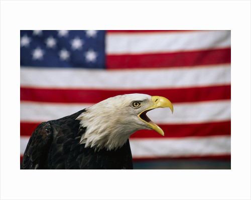 Bald Eagle and American Flag by Corbis