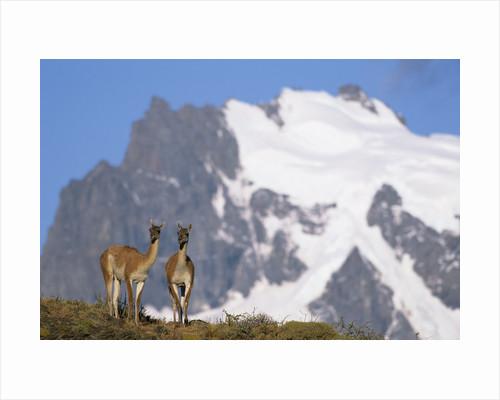 Cerro Paine Grande Rising behind Llamas by Corbis