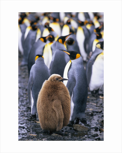 King Penguin Chick Standing with Adults by Corbis