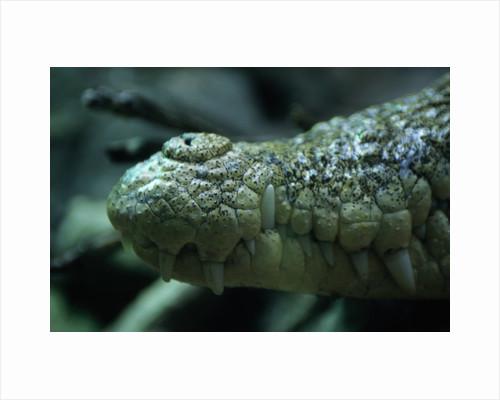 Saltwater Crocodile Snout by Corbis