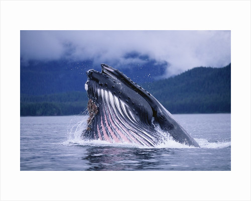 Humpback Whale Feeding in Frederick Sound in Alaska by Corbis