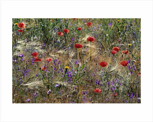 Red Poppies and Wildflowers by Corbis