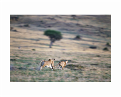 Lioness Chasing Cheetah by Corbis