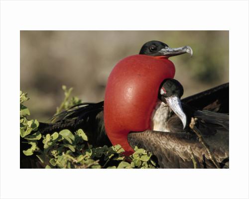 Courtship Display of Frigate Birds by Corbis