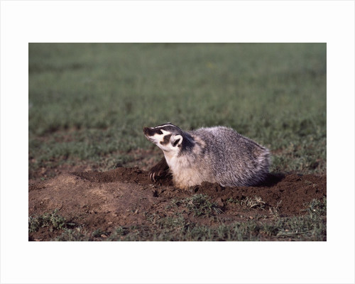 Badger Digging in Prairie Dog Hole by Corbis