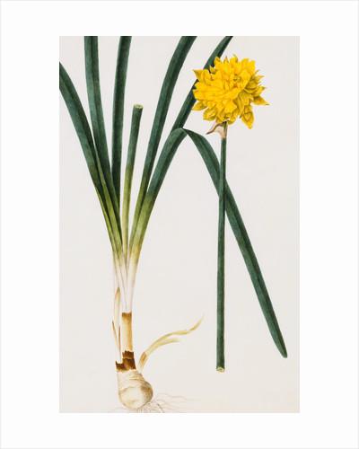 A Narcissus and Bulb by Baldassare Cattrani