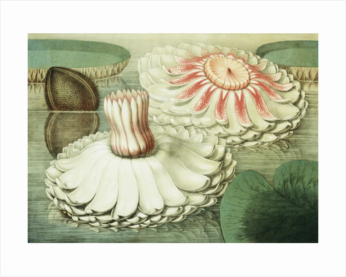 Victoria Regia or the Great Water Lily of America (Intermediate Stages of Bloom) by William Sharp
