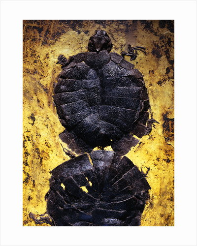 Pair of Freshwater Turtle Fossils by Corbis