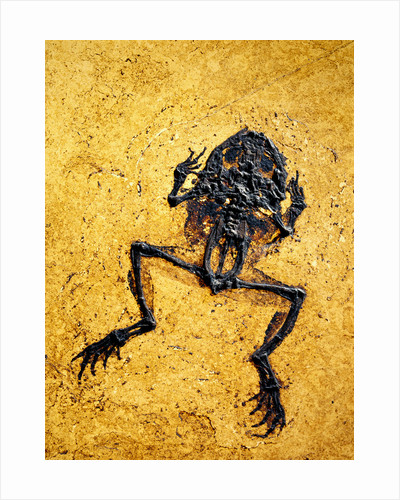 Fossil of Frog by Corbis