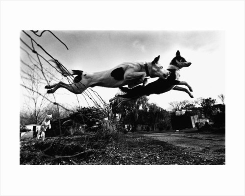 Dogs Leaping Over Wire Fence by Corbis