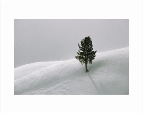 Lone Lodgepole Pine in the Snow by Corbis