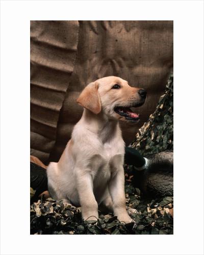 Labrador Retriever Puppy by Corbis