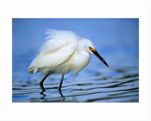 Snowy Egret by Corbis