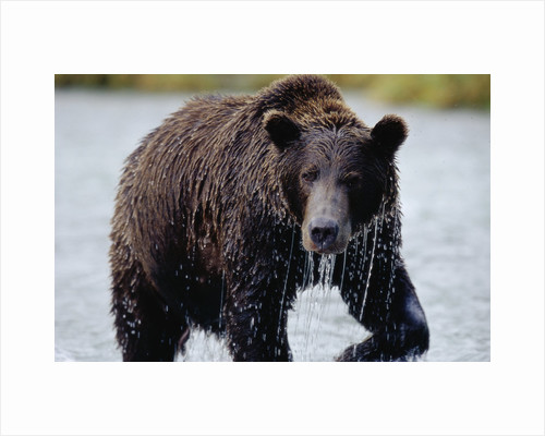 Brown Bear in Salmon Stream by Corbis