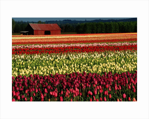 Rows of Tulips at DeGoede's Bulb Farm by Corbis