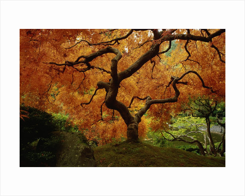 Maple Tree in Autumn by Corbis
