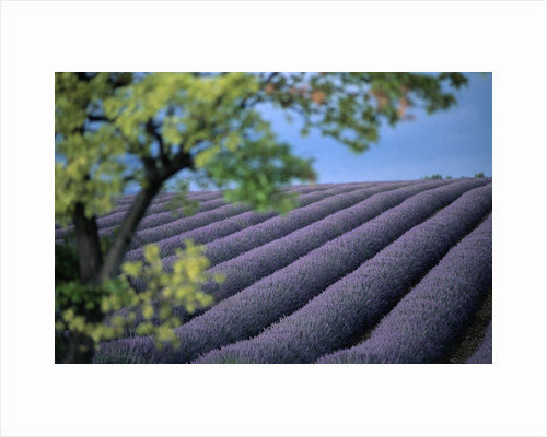 Lavender Fields in France by Corbis