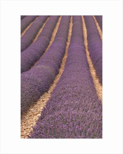 Field of Lavender by Corbis