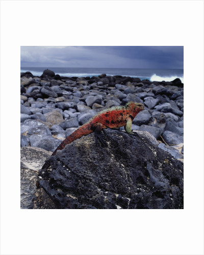 Marine Iguana on Coastal Rocks by Corbis