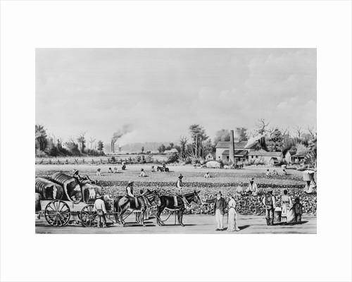 Cotton Plantation Scene by Corbis