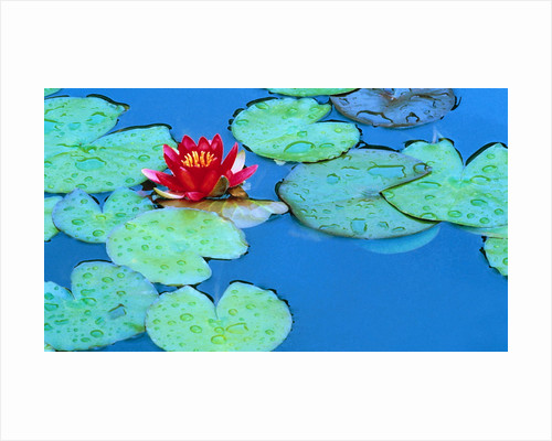 Lily Pads and Flower Blossom by Corbis