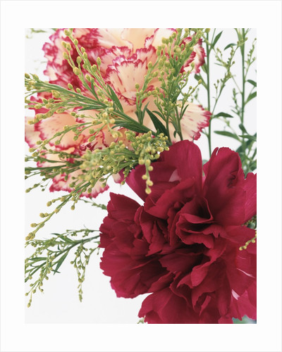 Blooming Carnations by Corbis