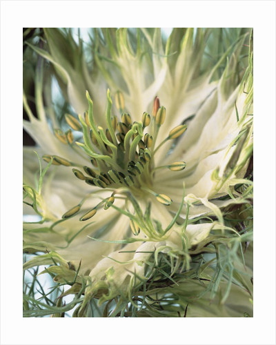 Blooming Love-In-a-Mist by Corbis