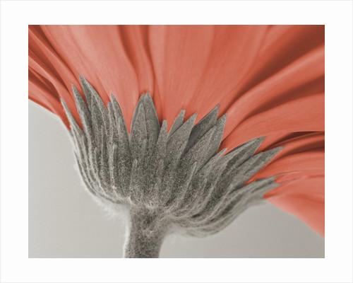 close up image of a gerbera daisy by Corbis