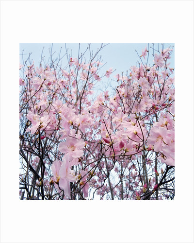 Detail of a cherry tree by Corbis