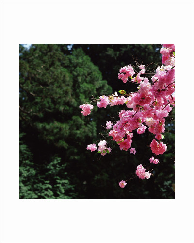 Branch of a cherry tree by Corbis