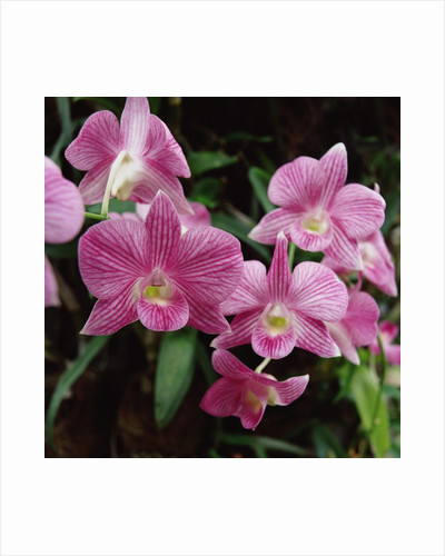 Orchids by Corbis