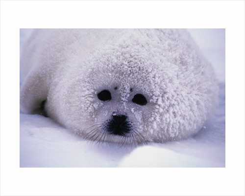 Harp Seal Pup with Snow on Fur by Corbis