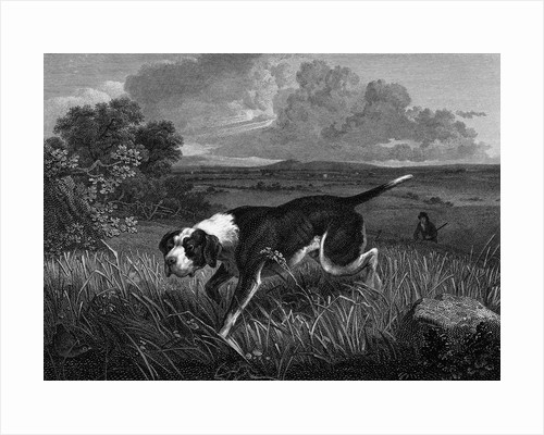 Engraving of Spanish Pointer Dog Hunting by Corbis