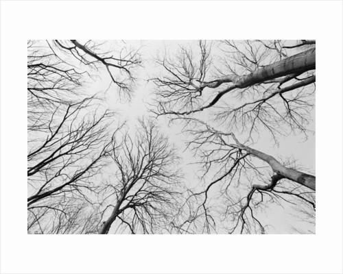 Leafless Trees in Thiepval Wood by Corbis