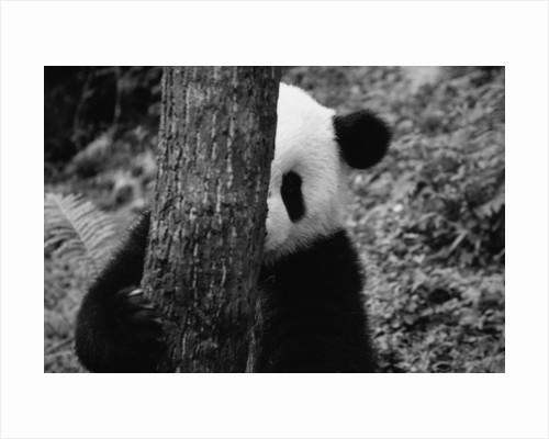 Panda Behind a Tree by Corbis