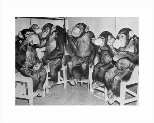 Chimpanzees Drinking Milk by Corbis
