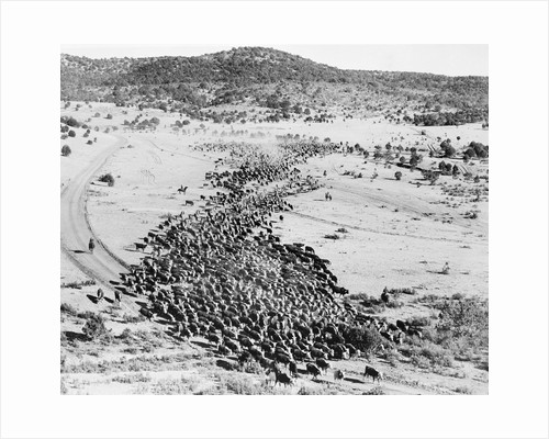 Cattle on a Cattle Drive by Corbis
