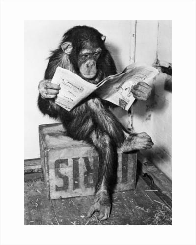 Chimpanzee Reading Newspaper by Corbis