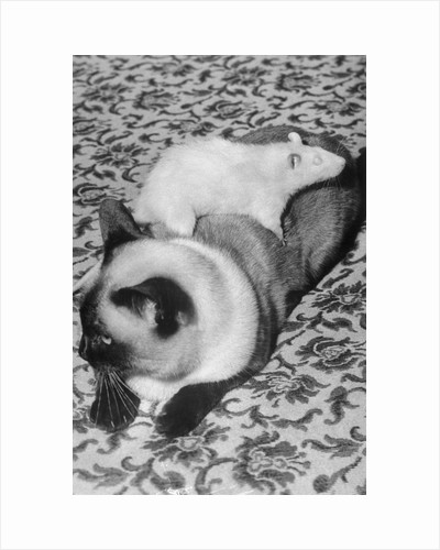 Cat and Rat Lying Together by Corbis