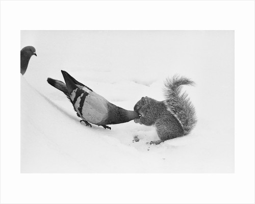 Pigeon Taking Nut from Squirrel on Snowy Day by Corbis
